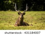 Stags In Mauritius