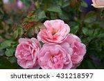 rose pink flowers in the garden ... | Shutterstock . vector #431218597