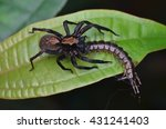Wandering Spider With Prey  ...