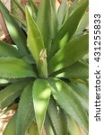 Small photo of Agave tequilana plant