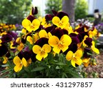 Pansy. Pansy Flowers In Garden...
