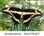 A Giant Swallowtail Butterfly...