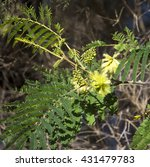 Small photo of New autumn growth with yellow brush flowers on Acacia mearnsii Black wattle a fast-growing leguminous tree native to Southeastern Australia which is short lived providing habitat for native birds.