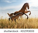 Horse With A Foal Skips In The...