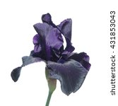 Dark Purple Iris Isolated On...