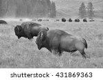 the herd of typical american...   Shutterstock . vector #431869363