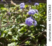 Small photo of Ethereal misty powder blue flowers of Perennial ageratum houstonianum cover the hairy green leaved plant in winter and spring and are a popular shade plant in many gardens.