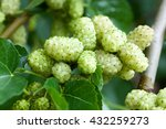 ripe white mulberry  branch ... | Shutterstock . vector #432259273