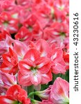 many pink lily flowers | Shutterstock . vector #43230616