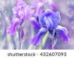 purple iris in garden  blue and ...   Shutterstock . vector #432607093