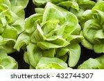 background vegetable is lettuce ...   Shutterstock . vector #432744307
