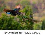 male indian peafowl  blue... | Shutterstock . vector #432763477
