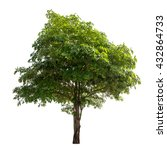 Small photo of Isolated Alstonia scholaris tree on white background