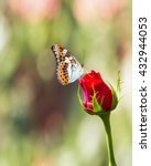 Butterfly Resting On Red Rose...