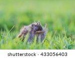 thrush baby bird   Shutterstock . vector #433056403