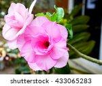 Soft Focus Pink Impala Lily....