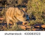 Small photo of An Aardwolf comes out at sunset to forage in Southern Africa