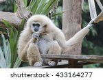 gibbons in front of a green... | Shutterstock . vector #433164277