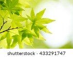 green leaf of japanese maple   Shutterstock . vector #433291747