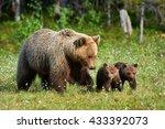 Mother Bear Walking In Finnish...
