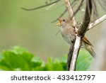 thrush nightingale sings | Shutterstock . vector #433412797