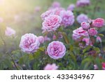 Stock photo soft texture with pink roses 433434967