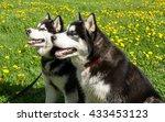husky dog  siberian  husky  sled | Shutterstock . vector #433453123