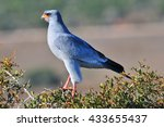 Small photo of African Goshawk perched