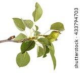 pear tree branch with unripe... | Shutterstock . vector #433794703