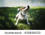 Small Dog Breed Jack Russell...