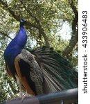 a peacock is standing high   Shutterstock . vector #433906483