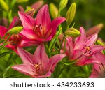 Lilies. Red Lily Flower. Lily...