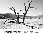 Dead Camelthorn Trees Against...