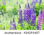 lupinus  lupin  lupine field... | Shutterstock . vector #434291407