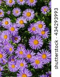 Small photo of The Alpine Aster (Aster alpinus) in spring garden . Decorative garden plant with purple flowers.