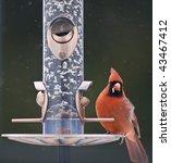 Male Cardinal On A Bird Feeder
