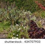 Aeonium Arboreum 'atropurpureu...