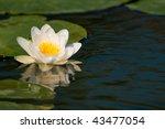 white lily flower | Shutterstock . vector #43477054