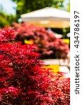 Small photo of Japanese Maple - Acer palmatum. Background