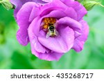 Bee In A Dog Rose Flower