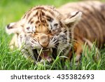 Baby Tiger Lying On Grass