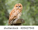 Tawny Owl  Strix Aluco ...