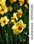 Small photo of Yellow flower, Amaryllidaceae, Narcissus
