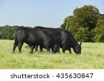 Registered Angus Cow And Bull...