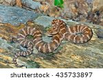 Small photo of A close up of the venomous snake (Agkistrodon saxatilis) on dry tree.