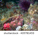 Small photo of Island Kelpfish pair (Alloclinus holderi) in a scallop shell surrounded by club-tipped anemones and a purple sea urchin. They were found of of central California's Channel Islands.