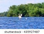 white pelican  pelecanus... | Shutterstock . vector #435927487
