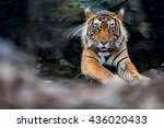 Tiger Male In The Watter Wild...