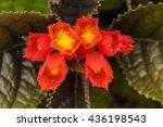chrysothemis pulchella | Shutterstock . vector #436198543