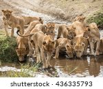 Group Or Pride Of Lionesses...